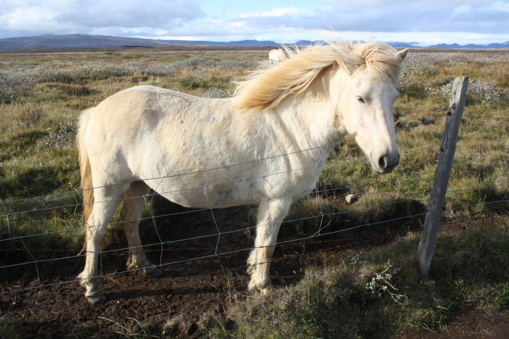 iceland mini horses golden circle gullfoss