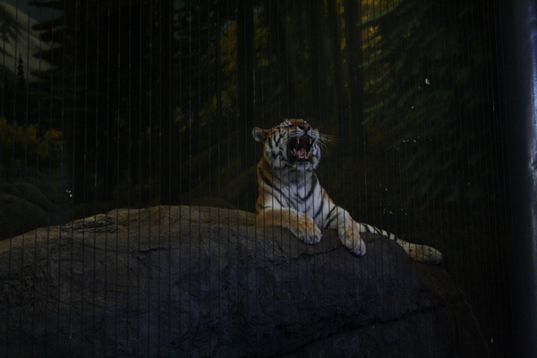 tiger yawning at chicago zoo lincoln park nzmuse